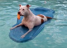 Peyton the Pit Bull Terrier-Can you believe this grown-up pup is 13?