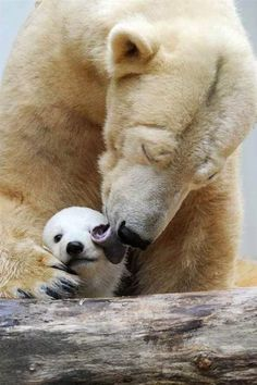 Mama polar bear and baby, mama y beb oso polar Cute Baby Animals, Animals And Pets, Wild Animals, Nature Animals, Wildlife Nature, Beautiful Creatures, Animals Beautiful, Pretty Animals, Majestic Animals