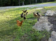 Free Ranging Your Chickens: from: http://www.backyardchickens.com/a/deciding-to-free-range-your-flock