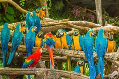 Colourful Macaw parrots Photos Colourful Macaw parrots in jungle. by Pushish Images