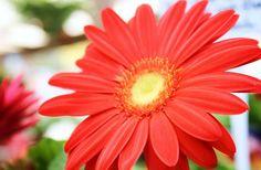 Ahhh the Gerber Daisy! Such a happy flower!