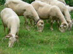 Pecore Garfagnine dell'azienda Cerasa  Pic by Eugenio Casanovi  www.cerasa.garfagnana.eu  Withe Sheeps, Cerasa Farm.