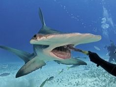 Hammerhead shark eats out of diver's hand - GrindTV.com