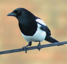 Magpie: one for sorrow, two for joy. Magpie Image, Pet Raven, Pie Bavarde, Eurasian Magpie, One For Sorrow, Quoth The Raven, British Garden, Crows Ravens, Wild Creatures