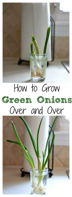 Did you know you can grow Green Onions over and over again in your kitchen? This is simply too fun not to share.