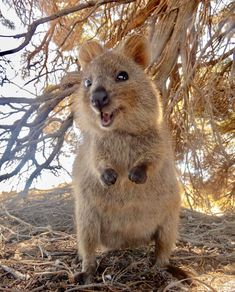 """The Quokka Is Called the """"World's Happiest Animal,"""" and Here Are 22 Photos to Prove It Happy Animals, Funny Animals, Cute Animals, Funny Cats, Funny Animal Pictures, Cute Pictures, Quokka Animal, Photo Animaliere, Best Pet Insurance"""