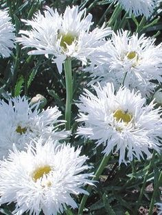 Leucanthemum Aglaia Shasta Daisy: Full Sun, perennial, blooms all summer if deadheaded, divide every 2-3 years. So fluffy pretty!