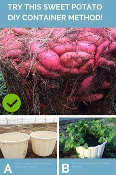 Learn how to harvest a massive sweet potato crop from DIY containers. Use these tips to set up containers to easily grow your own sweet potatoes in the yard, deck or patio. How to Grow a Massive Sweet Potato Harvest With DIY Containers Grow Potatoes In Container, Container Gardening Vegetables, Potato Growing Containers, Succulent Containers, Garden Container, Container Flowers, Growing Veggies, Growing Plants, Organic Gardening