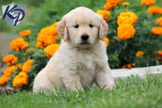 Bella – Golden Retriever Puppies for Sale in PA | Keystone Puppies