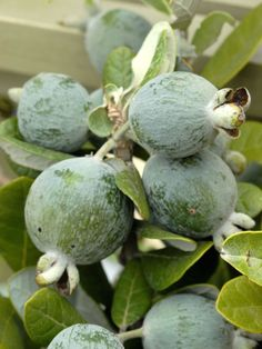 Guava  Guava plants will be the star attraction when grown in a bright sunroom. The tropical tree needs plenty of space, light and warmth. Unless you live in a climate with warm winters, bring the plant inside during late fall. Ripe guavas have a sweet, minty, pineapple flavor.