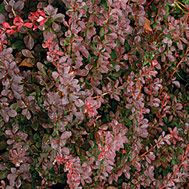 berberis thunbergii f. atropurpurea (red japanese barberry) Can handle moderate drought, very pretty colored leaves, small shrub Might use around dog area Planting Shrubs, Garden Shrubs, Garden Pests, Japanese Barberry, Japanese Painted Fern, Shade Shrubs, Hydrangea Quercifolia, Yellow Plants, Invasive Plants
