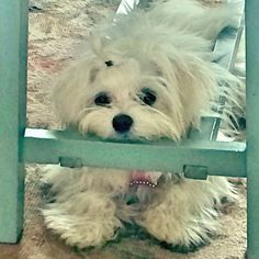 Lilly Maltese under coffee table