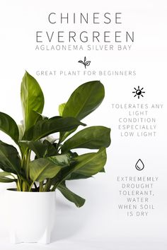 Master List of Low Light Indoor Plants it tolerates low light well, but also grows well in bright spots. It doesn't even need natural light to thrive! Chinese evergreen does just fine in offices with fluorescent lighting. This plant is fairly slow growing Best Indoor Plants, Outdoor Plants, Garden Plants, Plants For Home, Indoor House Plants, Vegetable Garden, Indoor Shade Plants, Easy House Plants, Nature Plants
