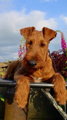 Ruari Welsh Terrier, Fox Terriers, Wire Fox Terrier, Airedale Terrier, Terrier Mix, Doggies, Dogs And Puppies, Scottish Deerhound, Group Of Dogs