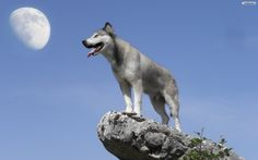 Gray wolf standing on a rock outcrop.