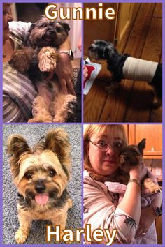 My two Yorkies were attacked by two pit bulls. They bit Harley several times, but Gunnie was badly mauled. I was trying to drive them away - I am amazed they didn't tear my face off, but I tried to get them off my baby. Gunnie nearly died. He suffered 32 punctures, two huge lacerations that required surgery, and a broken rib. He ultimately survived.
