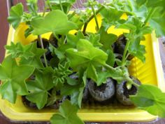 Pesto, Herbs, Plants, Tips, Flowers, Herb, Plant, Planets, Counseling