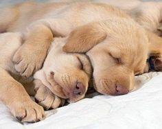 The best thing about this sweet sleeping puppies picture is the comfort you feel just by looking at it. Cute Puppies, Cute Dogs, Dogs And Puppies, Baby Puppies, Cute Animal Pictures, Puppy Pictures, Animal Pics, Dog Sleep, Romain Gary
