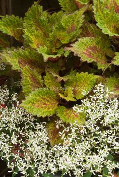 Euphorbia Gloria and Coleus   Plant & Flower Stock Photography: GardenPhotos.com