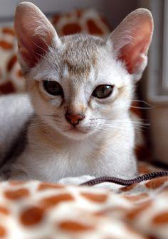 ♥CG♥ 160 Singapura Kitten