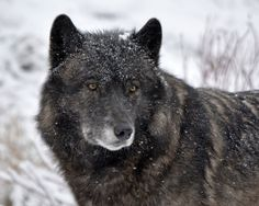 https://flic.kr/p/DyotzN   Gray Wolf   Kaska