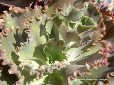 Is any plant lovelier than a ruffled echeveria, especially one in hues of magenta, lavender, bronze or gold? These rosette succulents are soaring in popularity, and new cultivars are being introduced all the time. Look for echeverias throughout my books and in many of my videos. Don't miss my YouTube series featuring renowned Echeveria hybridizer …