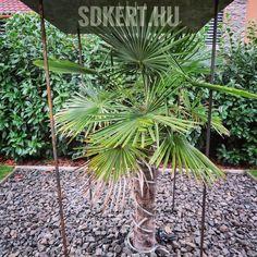 """49 kedvelés, 0 hozzászólás – SD KERT - Spiegel Ákos (@topgarden) Instagram-hozzászólása: """"#palmtree #spiegelakosphoto #gardendesign #kertépítés #kerttervezés #letisztult #gardening…"""" Plants, Design, Instagram, Plant, Planets"""