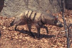Aardwolf walking in leaves near rock. 1971. W.  G. Garst Photographic Collection, University Archive, Archives and Special Collections, CSU, Fort Collins, CO