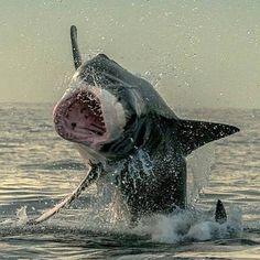 Shark Bait, Great White Shark, Sea World, Hobbit, Occult, Dolphins, Whale, Creatures, Ocean