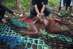 Madre e cucciolo di orangutan salvati nelle foreste indonesiane incendiate per creare piantagioni di olio di palma. Sono migliaia gli animali senza habitat e cibo