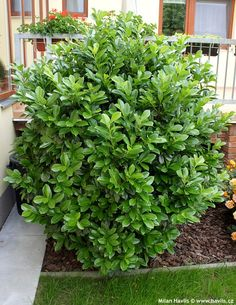 Can grow to 15 ft Cherry Laurel 'Centre Court™' on Fast Growing Trees Nursery Tall Shrubs, Evergreen Shrubs, Trees And Shrubs, Cherry Laurel Hedge, Laurel Tree, English Laurel, Fast Growing Shrubs, Privacy Plants, Garten