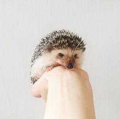 Hegel the Hedgehog!