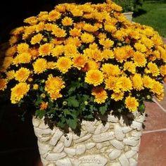 Így lesz bokros és virágoktól roskadozó a krizantém | Balkonada Flower Pots, Pink Flowers, Container Gardening, Flowers, Garden, Lilac Varieties, Outdoor, Plants, Clover Flower