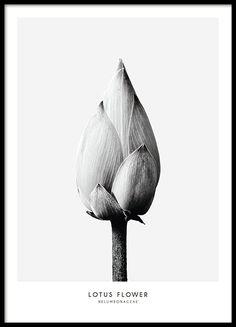 """Schönes botanisches Poster in Schwarz-Weiß mit Fotografie einer Lotosblume. Das Poster hat einen grauen Hintergrund mit weißem Rand. Schauen Sie sich auch unser Poster """"Thistle flower"""" aus der gleichen Kollektion an, zu finden in unserer Kategorie mit Botanik-Postern. www.desenio.de"""