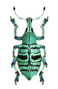 Eupholus quinitaenia Cool Insects, Bugs And Insects, Insect Orders, Insect Tattoo, Cool Bugs, Hello To Myself, Beautiful Bugs, Insect Jewelry, Colorful Animals