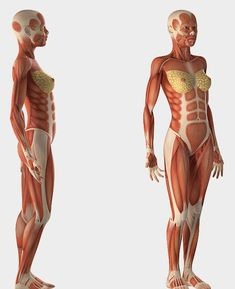 Drawing Models, Female Drawing, Human Poses Reference, Body Reference, Human Anatomy Female, Body Muscle Anatomy, Muscular System Anatomy, Body Study, Anatomy For Artists