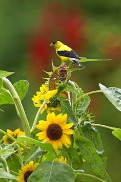 How to Attract Goldfinches With Your Garden - Sunflowers are one of the best options to attract goldfinches.