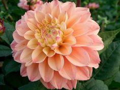 dahlia princesse elisabeth salmon pink and soft yellow muddy acres