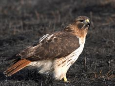 Hawk - Red-tailed Red Tailed Hawk, Raptors, Bald Eagle, Birds, Animals, Image, Animaux, Bird, Animal