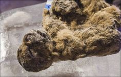 Whiskers still bristling after more than 12,000 years in the Siberian cold, cave lion cubs found at Siberian city, Yakutsk.  11/20/15