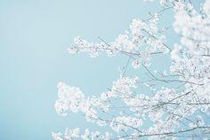 yuffii:  blue cherry blossoms (by takumi)