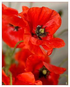 in the world of wild poppies by grandma-S.deviantart.com on @deviantART