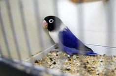violet fischer lovebird   75.JPG