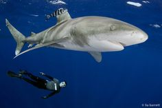Prawno enjoys another day in the Bahamas with Oceanic Whitetips.