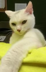 Pearl 18282 is an adoptable Domestic Short Hair Cat in Prattville, AL. � Pearl is a one-year old, solid white spayed female. She tends to keep to herself, but once she warms up to you, Pearl is very f...