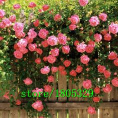 Bonsai  Flowers seed for garden Climbing Rose 50pcs floer GREAT PROMOTION Plants planters Bonsai *** AliExpress Affiliate's Pin. Locate the offer simply by clicking the image