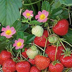 Erdbeeren-Pflege: Pflanzen, Düngen und Schneiden
