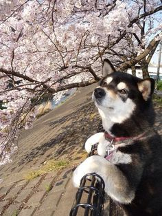 桜を眺めるわんこ
