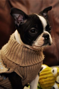 """Sailor Mae""  a beautiful Boston Terrier from Colorado."