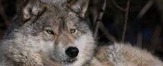 Haliburton Wolf Sanctuary / Haliburton Forest::Ontario's Outdoor Adventure Paradise